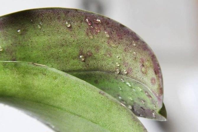Тля на орхидеях: борьба с вредителем в домашних условиях. советы для начинающих цветоводов