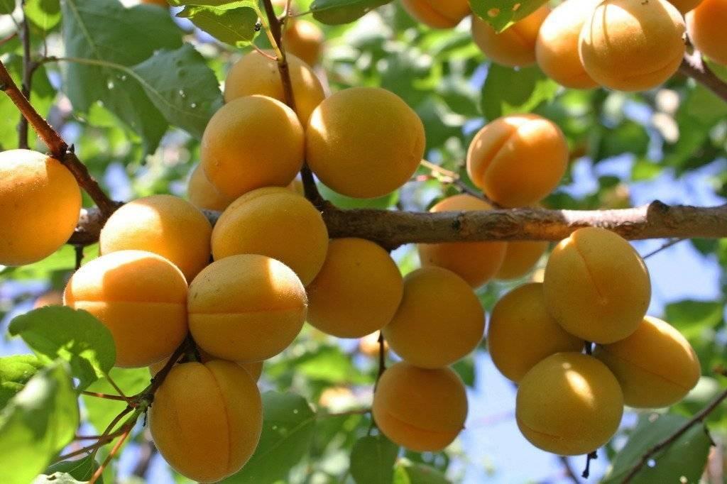 Все об сорте абрикосов триумф северный: как посадить и ухаживать за растением