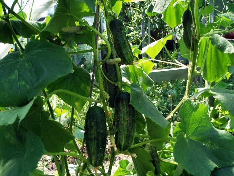 Посадка огурцов в открытый грунт семян или рассады - когда сажать и как правильно выращивать