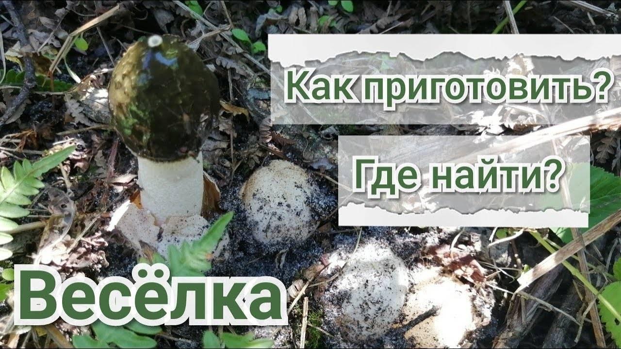 Лечебные свойства гриба веселка