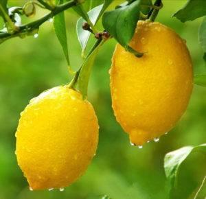 К чему снится лимон - значение сна лимон по соннику