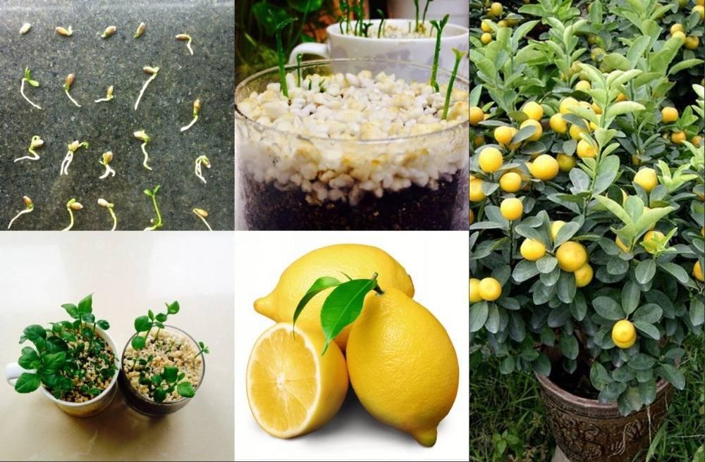 Лимон - уход в домашних условиях. как вырастить и получить урожай.