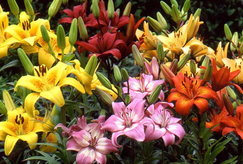 Лилии: посадка и уход в открытом грунте весной когда сажать фото видео