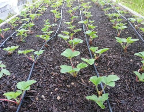 ✅ подкормка клубники во время цветения и плодоношения, чем подкормить клубнику для хорошего урожая