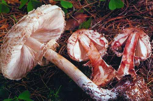 Куриный гриб как готовить. описание и места распространения гриба курятника (зонтика краснеющего)