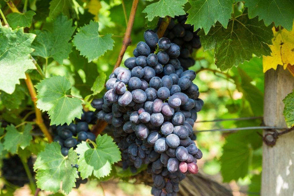 Сорт винограда «ризамат»