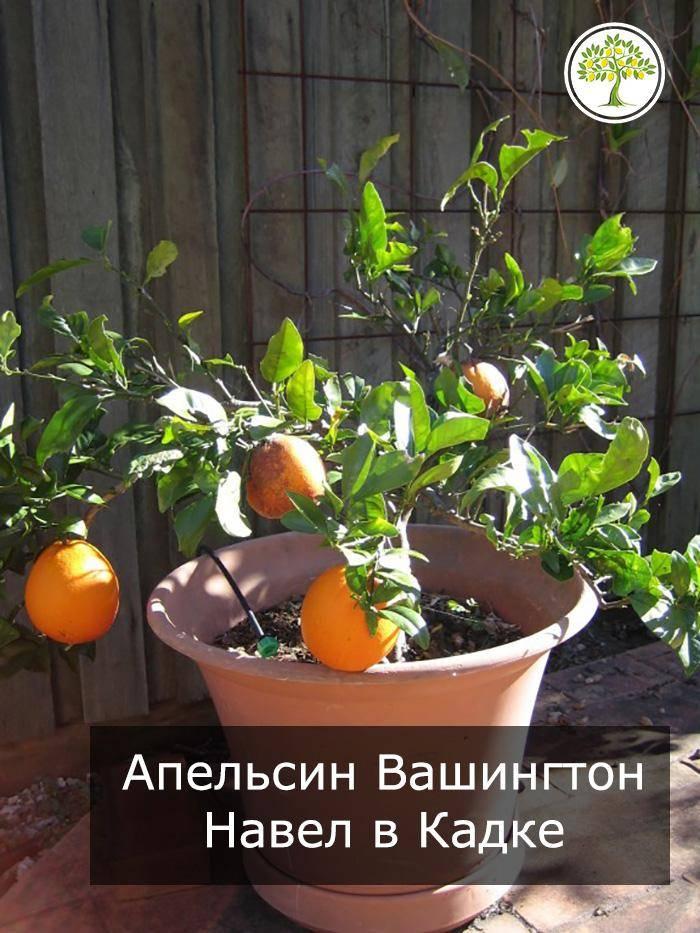 Как ухаживать за апельсиновым деревом в домашних условиях в горшке