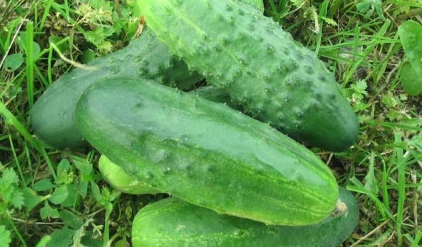 Огурцы емеля f1: характеристика и описание сорта, особенности выращивания и ухода, фото
