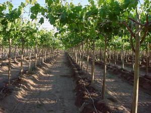 Как поливать и подкармливать виноград весной после открытия: сроки, способы полива, растворы для подкормок
