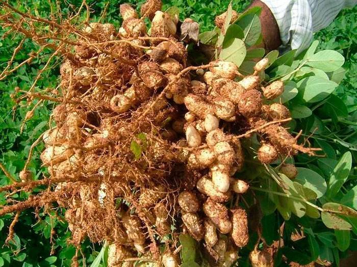 Как вырастить арахис: в домашних условиях, на огороде, на даче