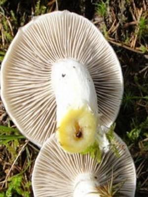 Гриб моховик - описание и фото, как выглядит ложный моховик