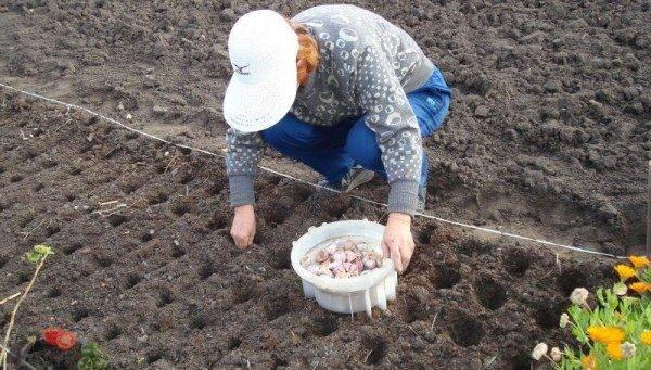 Бизнес-план по выращиванию чеснока