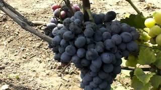Топ-9 сортов черного винограда: от столовых до технических