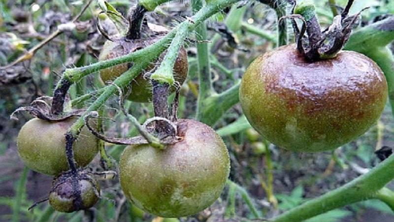 Чем опрыскать помидоры от фитофторы:химические и народные ср-ва