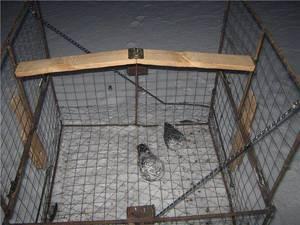 Как поймать голубя: эффективные и безопасные способы
