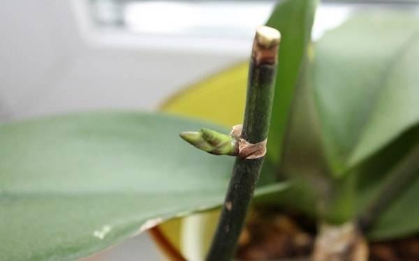 Как правильно обрезать орхидею после цветения: основные правила обрезки