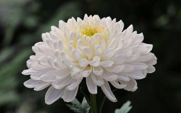 Хризантема бакарди — кустовая, белая и другие разновидности