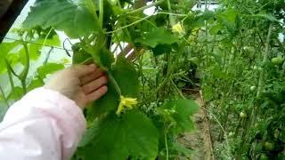 Сорта огурцов: для открытого, закрытого и комнатного выращивания
