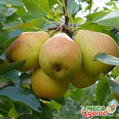 Груша (дерево): как растет, уход после посадки и выращивание