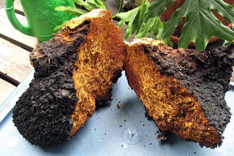 Как отличить чагу по фото от других грибов, например, от трутовика, ложная чага