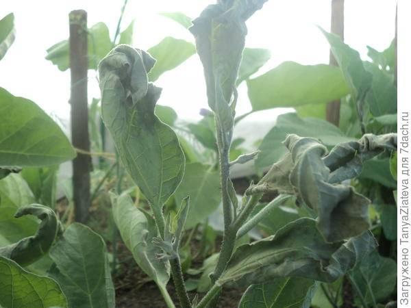 Почему скручиваются листья у баклажанов: что делать видео