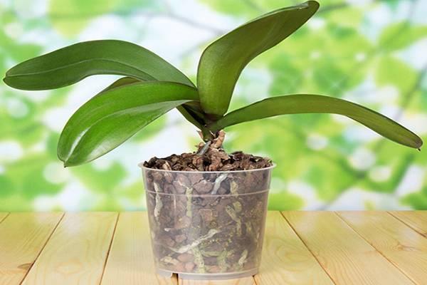 Забота о корнях для яркого цветения: выбираем правильный грунт и горшок для пересадки орхидеи