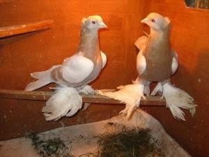 Бакинские бойные голуби: фото, описание, характеристика
