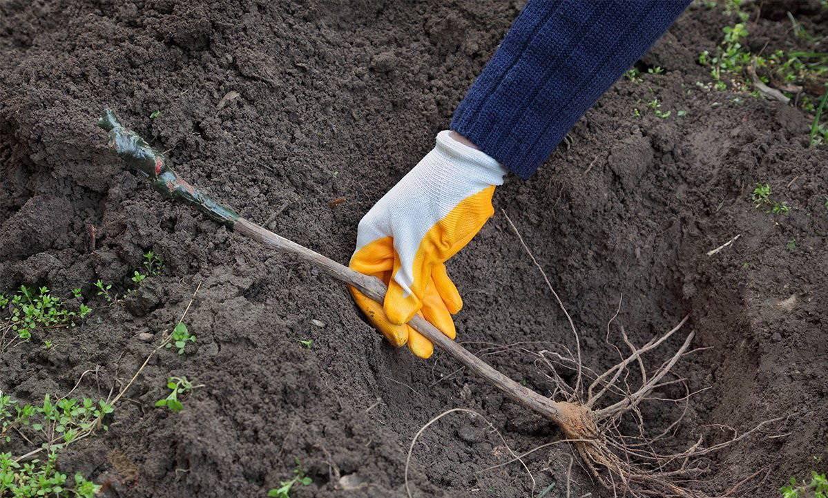 Как посадить виноград осенью черенками без корней в грунт
