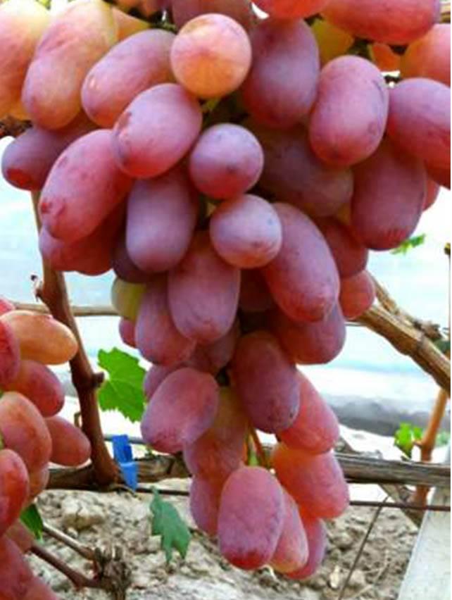 """Виноград """"ланселот"""": описание сорта, фото, отзывы"""