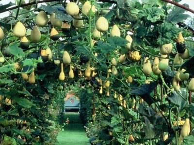 Выращивание декоративной тыквы
