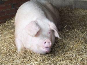 Дорош мария. болезни свиней