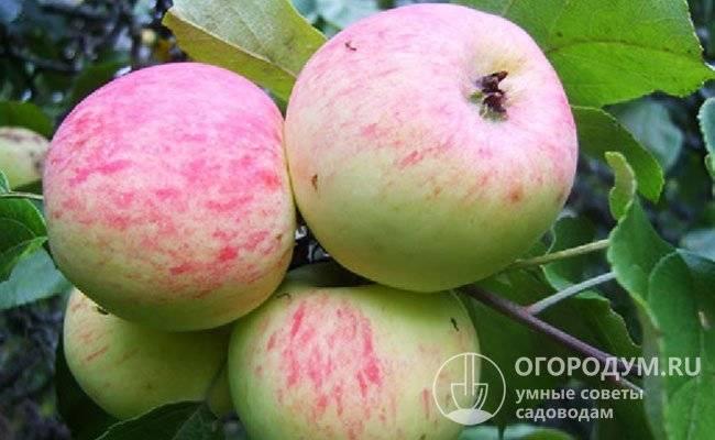 Яблоня «Грушовка»: описание сорта, фото, отзывы