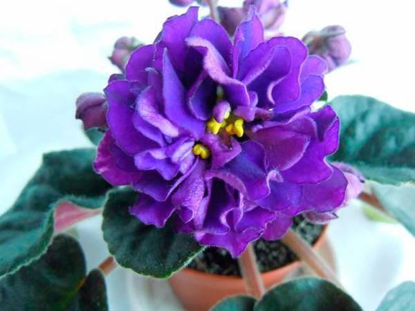 Фиалка чёрная жемчужина: описание сорта и советы по выращиванию