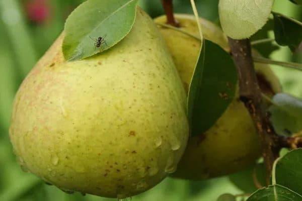 Морозостойкий высокоурожайный сорт груши «кафедральная»