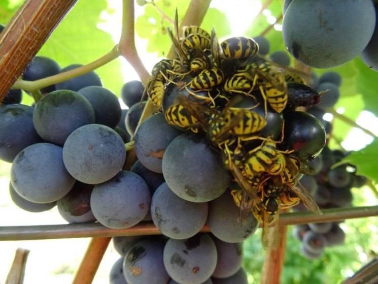 Сорта винограда с которых делают вино русский фермер