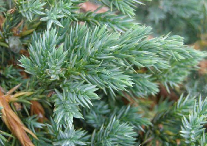 Можжевельник: описание, виды и сорта, применение