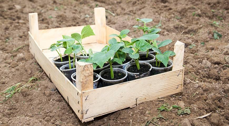 Как правильно высаживать рассаду огурцов в домашних условиях