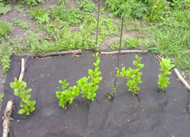 Растение китайский лимонник: фото и описание, видео, посадки, ухода, выращивания и размножения китайского лимонника