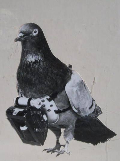 Почему почтовые голуби летят в нужное место? описание, фото и видео