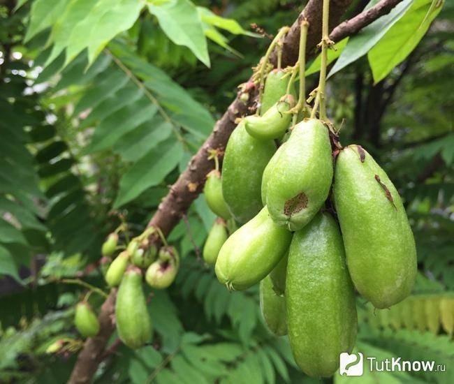 Огуречное дерево билимби описание фото