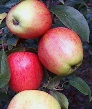 Характеристики яблок аркадик - медоносы | описание, советы, отзывы, фото и видео