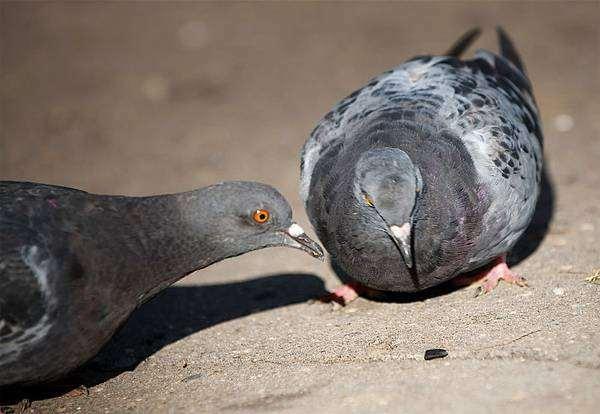 Сизый голубь: описание, фото, где обитает, чем питается