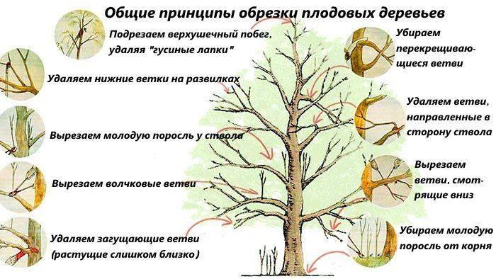 Обрезка деревьев весной для начинающих в картинках пошагово (схема, фото и видео)