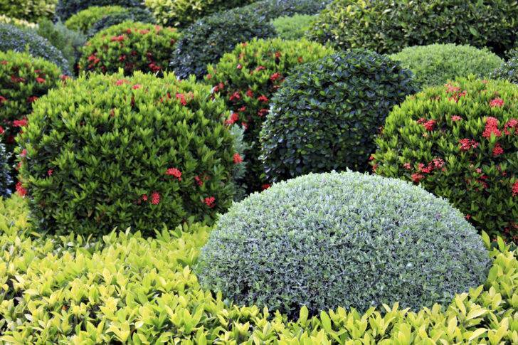 Декоративный клен (23 фото): виды домашних карликовых кленов для дачи и сада в подмосковье. как правильно рассадить семена?