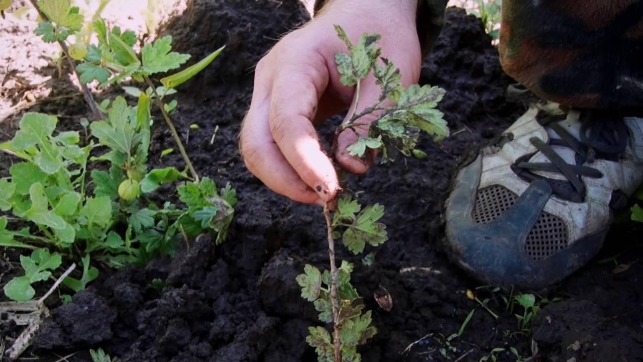 Как размножить крыжовник осенью и весной, видео и фото