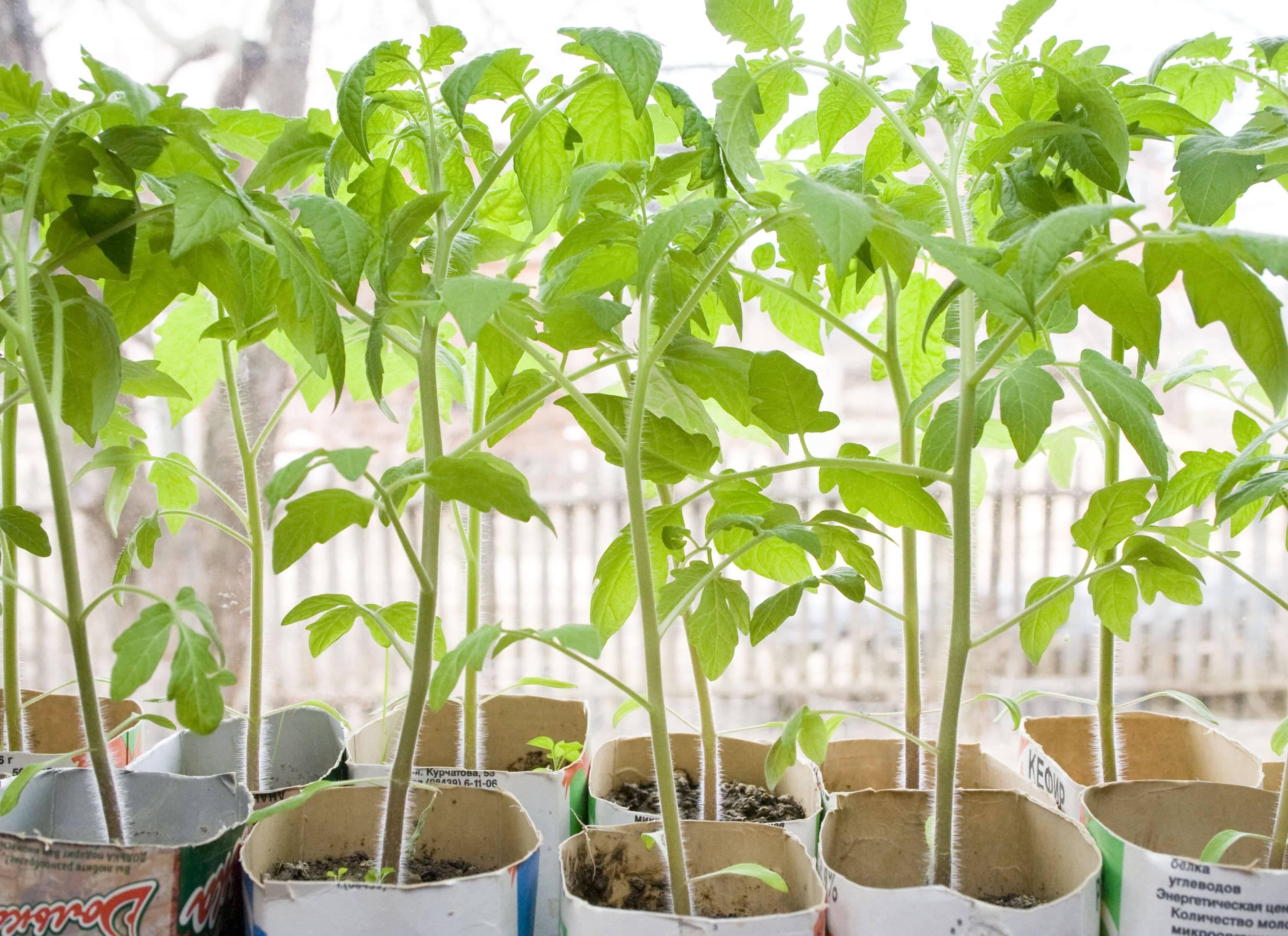 Юлия миняева томатный сок в домашних условиях. рассада в пеленках: выращивание, пикировка, видео юлии миняевой