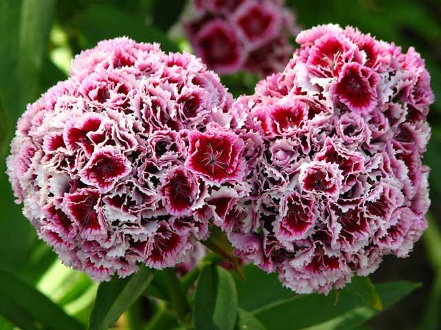 Турецкая гвоздика: выращивание из семян, когда сажать, посадка и уход в открытом грунте
