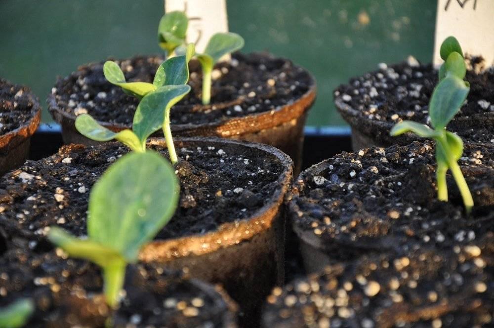 Как правильно высадить рассаду тыквы в открытый грунт?