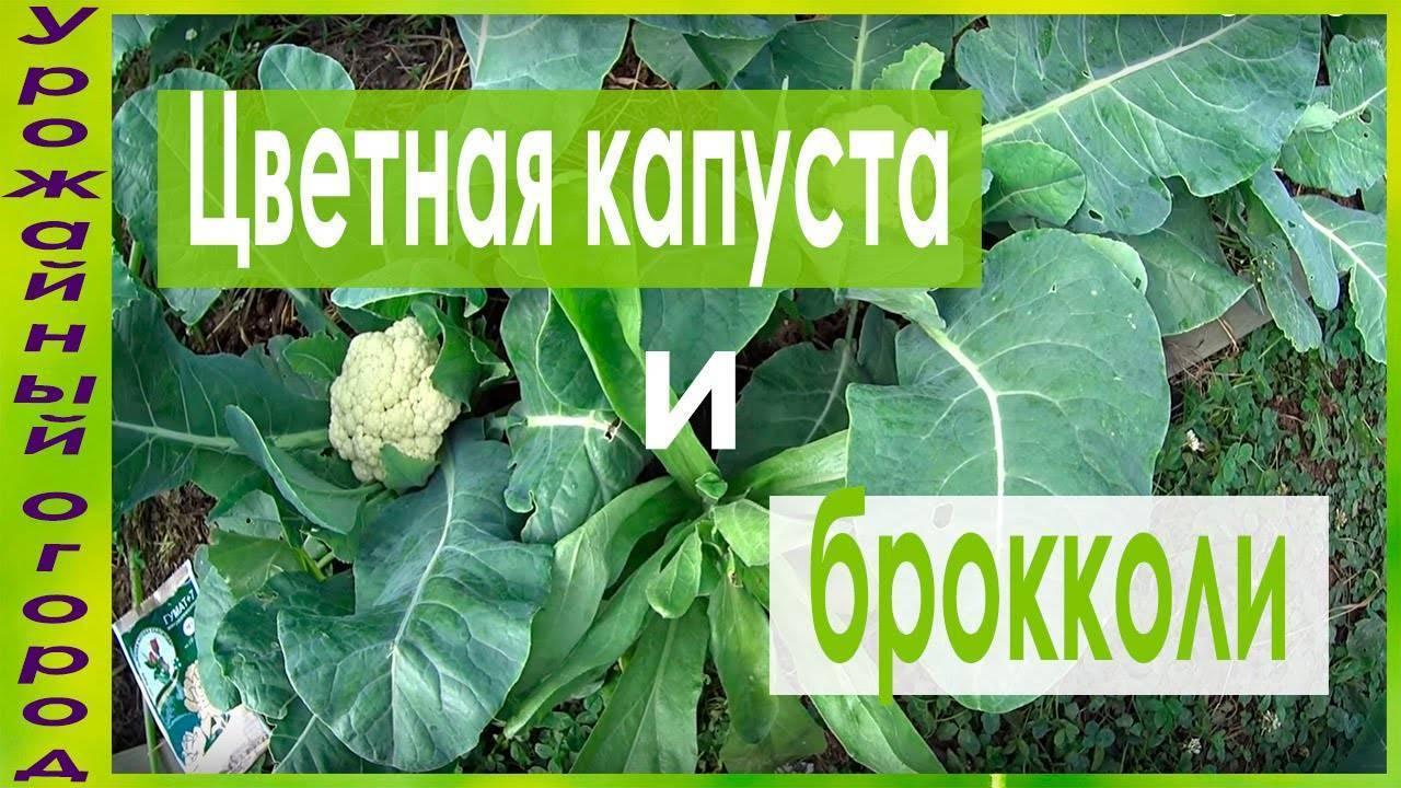 Капуста не завязывается в кочан что делать, чтобы завязалась (устранение причин, подкормки и народные методы), почему капуста растет вверх и плохо завязывается
