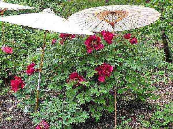 Пошаговая инструкция посадки пионов осенью и весной